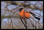 Title: Handsome male Bullfinch