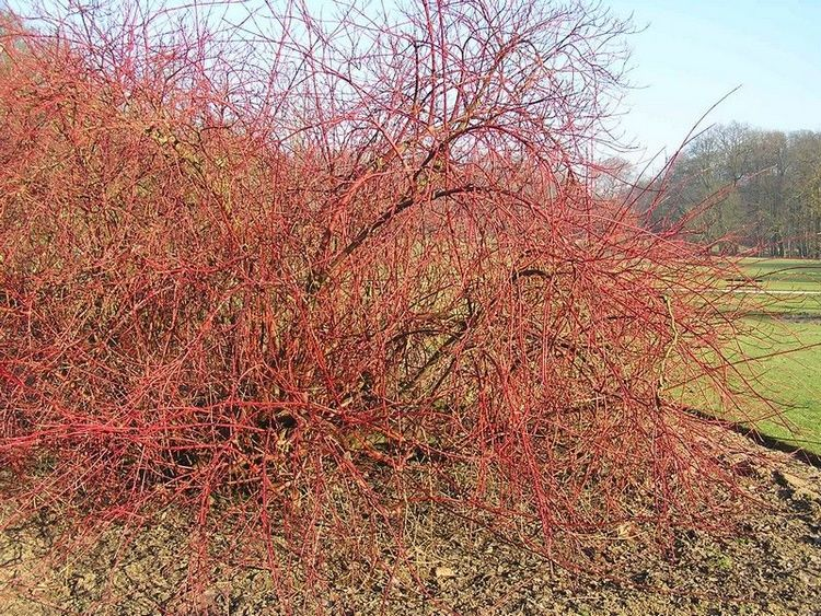 Winter Beauty or Cornus alba