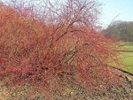 Title: Winter Beauty or Cornus alba