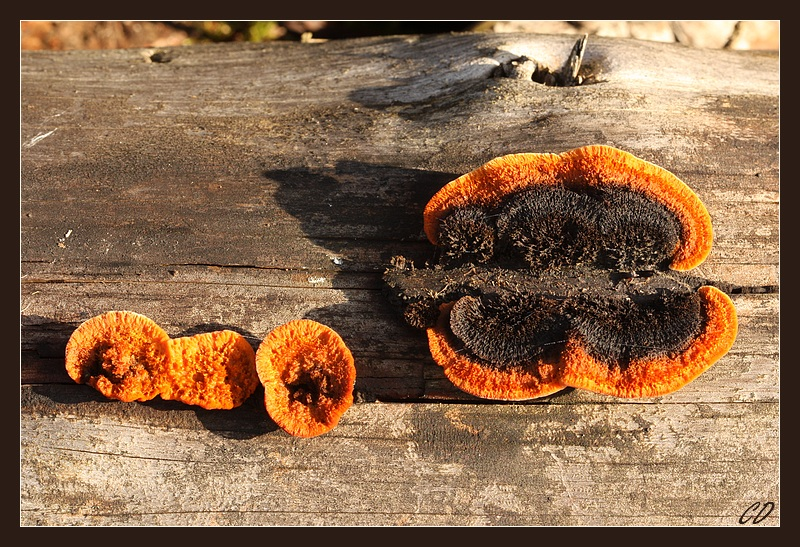 Yellow-red Gill Polypore