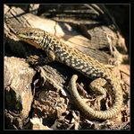 Title: Wall Lizard Camera: Canon EOS400D
