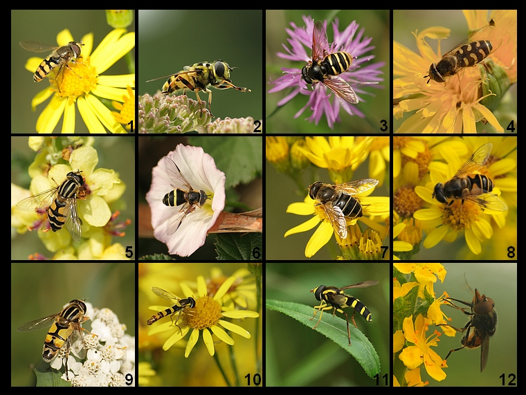 Wild Meadow 3: Syrphidae