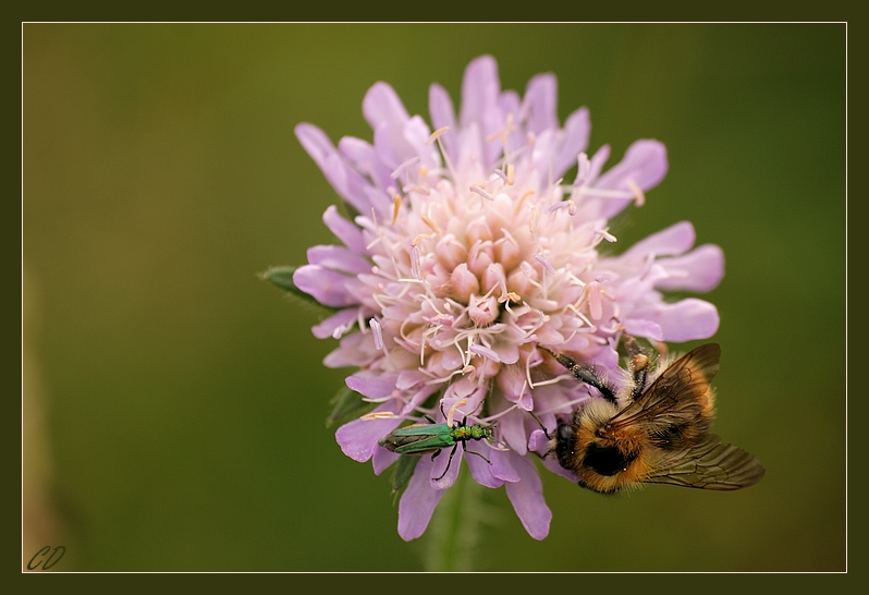 Meeting on a Scabious