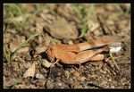 Title: Blue-winged Grasshopper