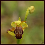 Title: Ophrys parosica