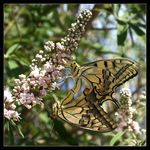 Title: Papilio machaon in love