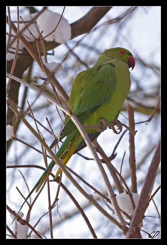 Parakeet in the Snow�
