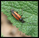 Title: Black-striped Longhorn BeetleCanon EOS400D
