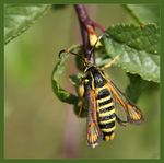 Title: Six-belted Clearwing