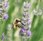 Title: a bee in the lavander