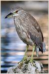 Title: Yellow-crowned night heron