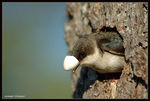 Title: Tree Swallow (Female)