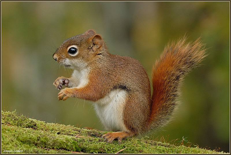 Russet-red squirrel