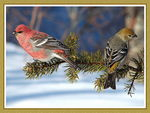 Title: Pine Grosbeak couple Camera: Nikon D70
