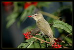 Title: Red-eyed Vireo (Fond of food)