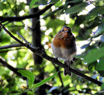 Title: Robin in WoodsMinolta Dimage Z1