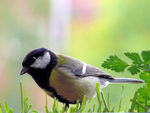 Title: Great Tit
