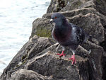 Title: Pigeon On The Rocks