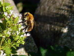 Title: Bombus pascuorum, maybe?
