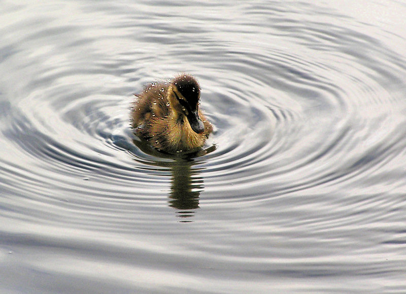 Surfacing Duckling