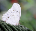 Title: White butterfly