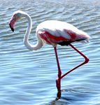 Title: Pretty Flamingo