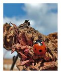 Title: 7 spotted ladybird