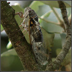 Title: A common cicada, Lyristes plebejus