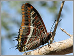 Title: Two-tails Pasha, Charaxes jasiusCanon Powershot S3 IS