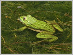 Title: Grenouille, Rana lessonaeCanon Powershot S3 IS