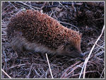 Title: The hedgehog, Erinaceus europaeusCanon Powershot S3 IS