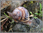 Title: Escargot, helix aspersa aspersaCanon Powershot S3 IS
