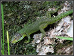 Title: Green lizard male, lacerta veridisCanon Powershot S3 IS