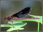 Title: Demoiselle, Calopteryx haemorrhoidalisCanon Powershot S3 IS