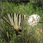 Title: Scarce swallowtail,Iphiclides podalirius
