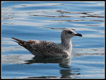 Title: Young seagull, larus argentatusCanon Powershot S3 IS