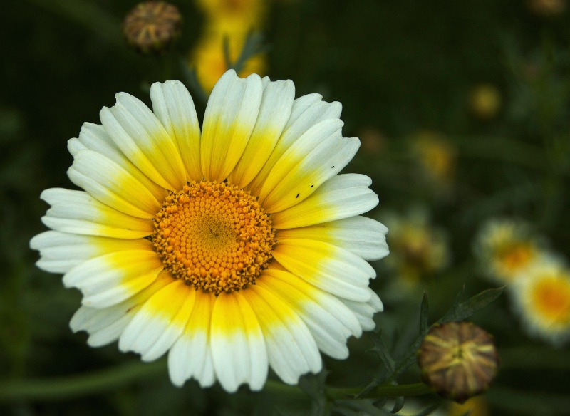 the yellow or white flower