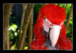 Title: Red macaw of IndonesiaOlympus Camedia C5060 WZ