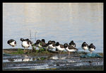 Title: Sleeping Oystercatchers