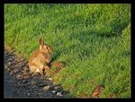 Title: Irish Rabbit