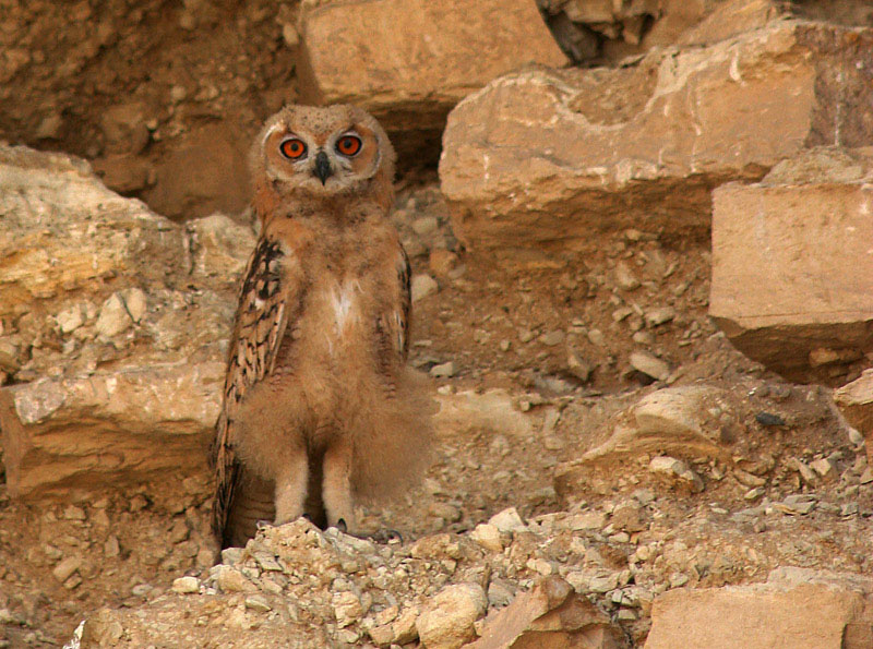 Egyptian eagle owl