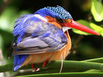 Title: Malachite kingfisher