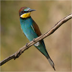 Title: European Bee-eater