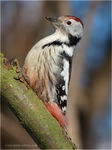 Title: Middle Spotted Woodpecker #2