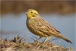 Title: Yellowhammer #3