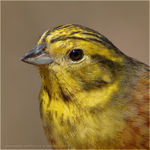 Title: Yellowhammer #4
