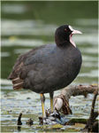 Title: Coot #5