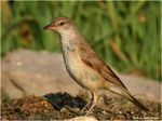 Title: Great Reed Warbler #3