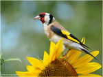 Title: Goldfinch #3