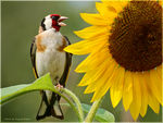 Title: Goldfinch #2